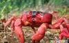 خرچنگ قرمز