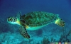 لاکپشت سبز دریایی