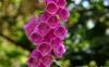 گل انگشتانه