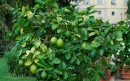 روش کاشت درخت لیموترش