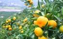 روش کاشت درخت نارنگی