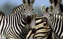گورخر | zebra