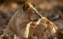 شیر آسیایی | Asian Lion