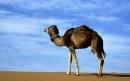 شتر عربی | Arabian Camel