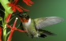 مرغ مگس خوار گلو یاقوتی | Ruby-Throated Hummingbird