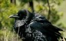 کلاغ سیاه | Raven