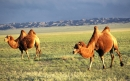 شتر باختری | Bactrian camel