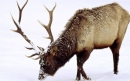 معرفی حیوانات - گوزن شمالی Elk