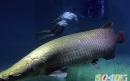 ماهی آراپایما