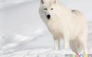 گرگ قطب شمال