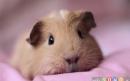 خوکچههندی