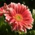 روش کاشت گل ژربرا | گل تاب