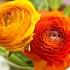 روش کاشت گل آلاله پُرپَر