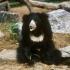 خرس تنبل  Sloth Bear
