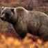 خرس خاکستری آمریکا |Grizzly Bear