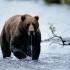 خرس قهوه ای | brown bear