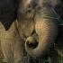 فیل آسیایی   Asian elephant