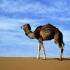 شتر عربی   Arabian Camel