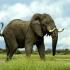 فیل آفریقایی | African elephant