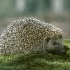 جوجه تیغی | hedgehog