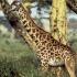 زرافه | Giraffe