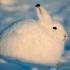 خرگوش قطبی|arctic hare