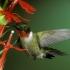 مرغ مگس خوار گلو یاقوتی   Ruby-Throated Hummingbird