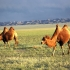 شتر باختری   Bactrian camel