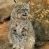 بابکت   Bobcat