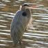 حواصیل آبی بزرگ |Great Blue Heron