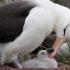 آلباتروس | Albatross