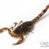 عقرب  Scorpion