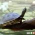 دو گونه بزرگ لاک پشت ها