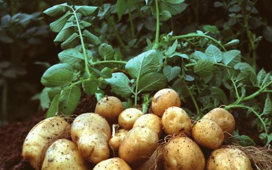 روش کاشت سیب زمینی