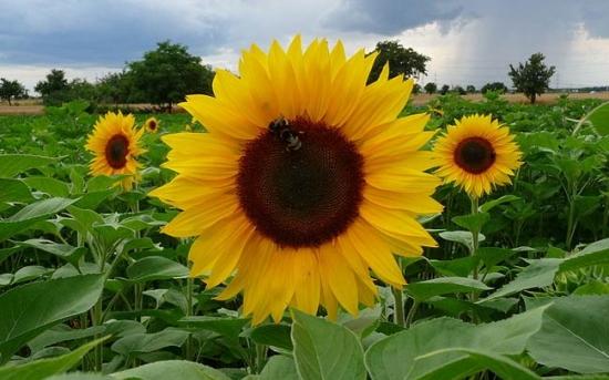 روش کاشت گل آفتاب گردان