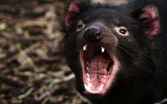 شیطان تاسمانی |Tasmanian Devil