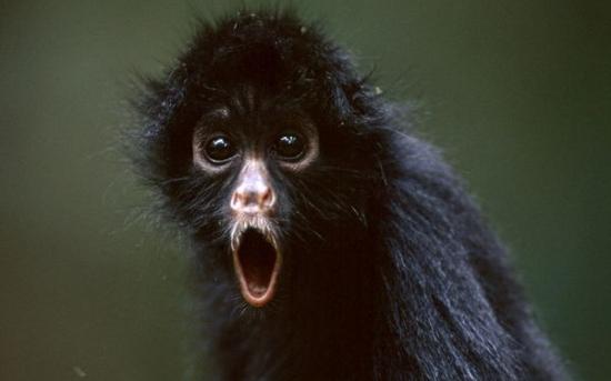 میمون عنکبوتی | Spider Monkey