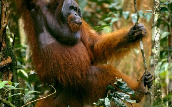 اورانگوتان | orangutan