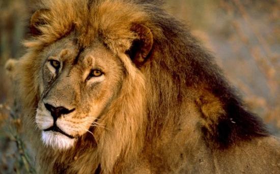 شیر آفریقایی   African lion