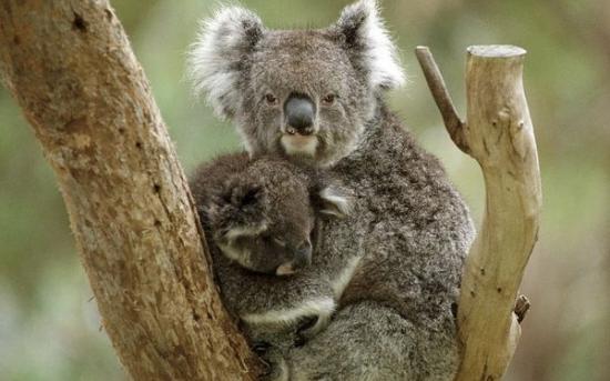 کوآلا | Koala