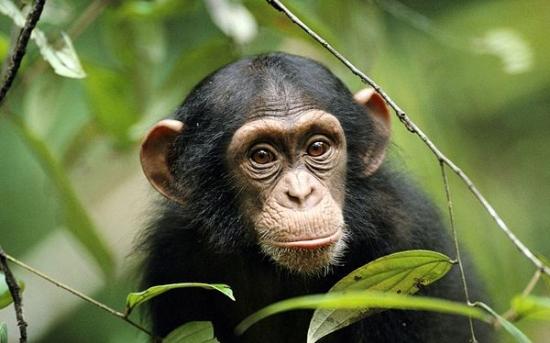 شامپانزه | Chimpanzees