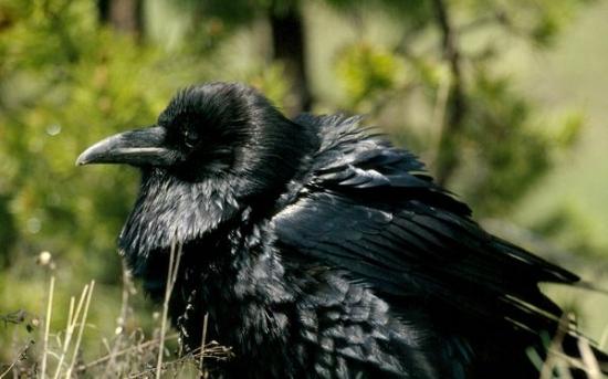 کلاغ سیاه   Raven