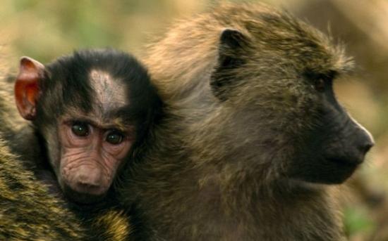 بابون | baboon