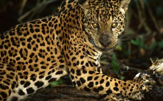 پلنگ خالدار آمریکایی | Jaguar