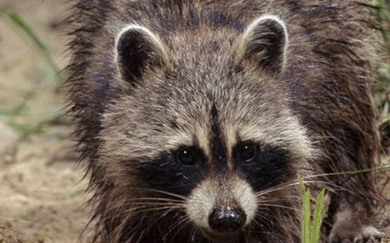راکون   Raccoon