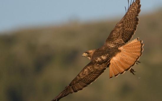 شاهین دم قرمز| Red-Tailed Hawk