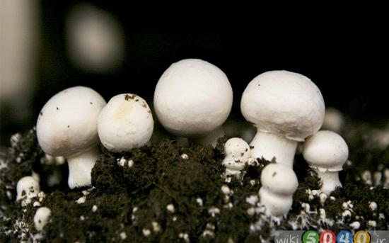 روش کشت قارچ در خانه