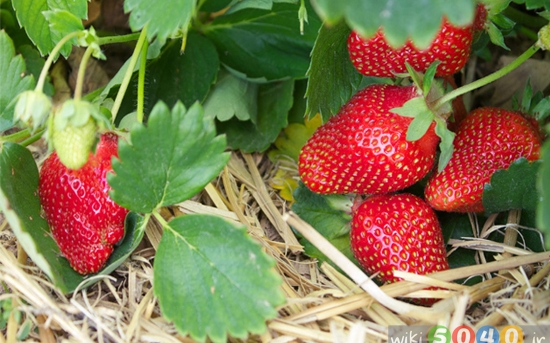 پرورش توتفرنگی در باغچه خانه
