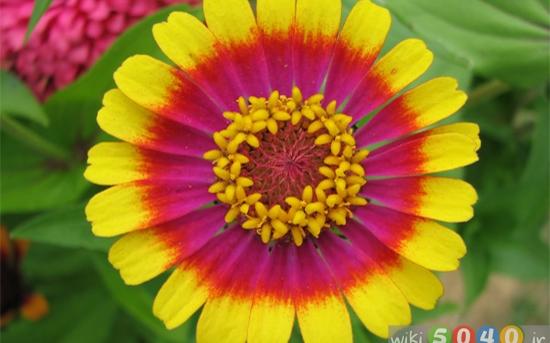 گل آهاری