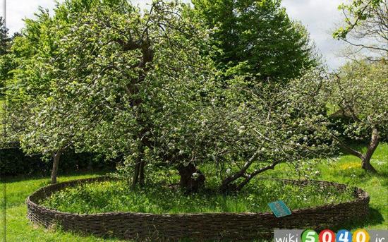 درخت نیوتن کجاست؟